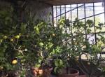 19 lemon trees